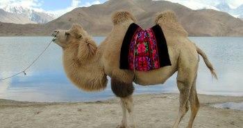 1024px-Bactrian_Camel_(39923800810)