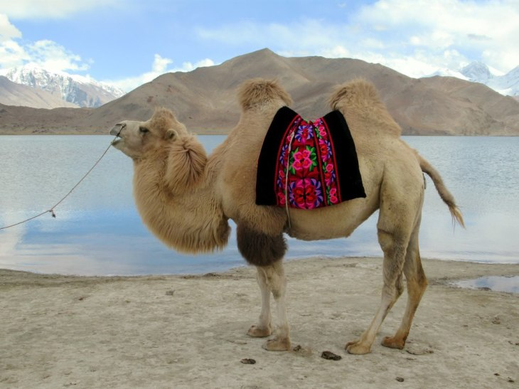 1024px-Bactrian_Camel_(39923800810)