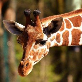 giraffe-2222908_1280