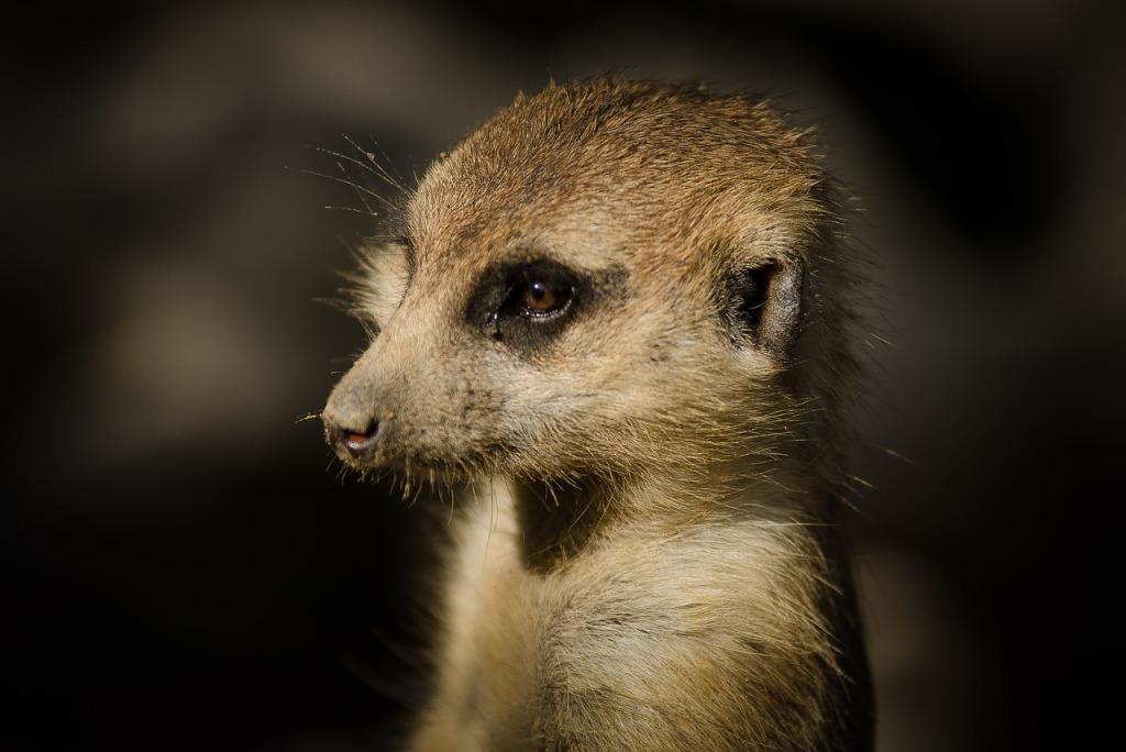 meerkat-2873133_1280